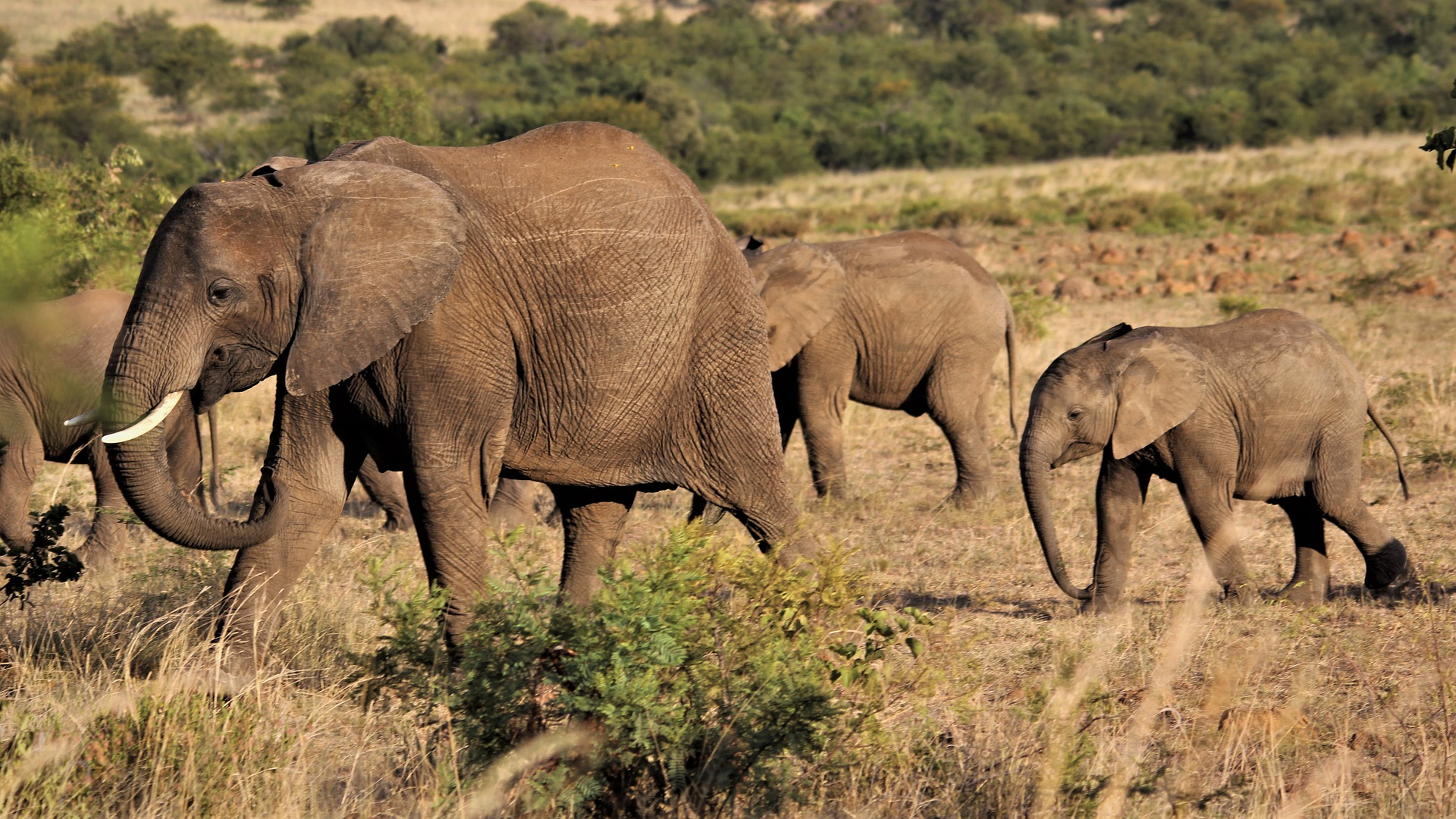 african-elephant-4889366_1920